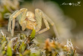 Renspin - Philodromus sp ♂
