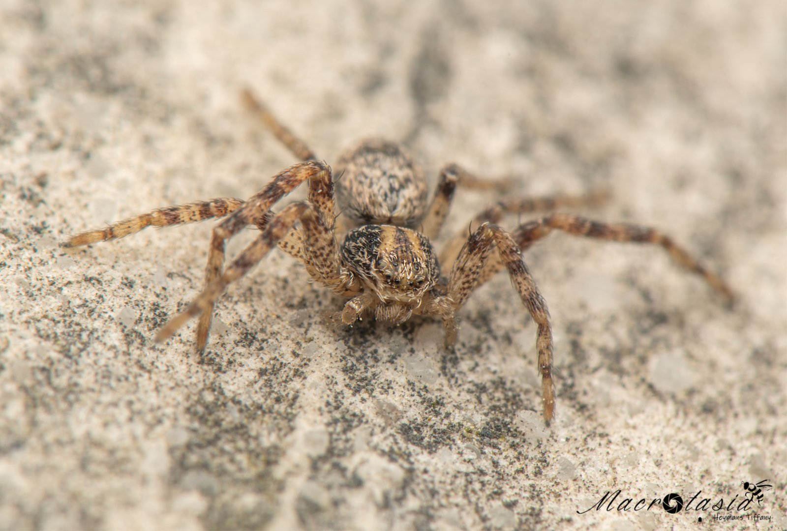 Renspin - Philodromus sp ♀